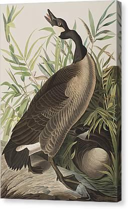 Canada Goose Canvas Print by John James Audubon