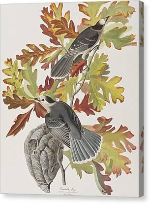 Canada Jay Canvas Print by John James Audubon