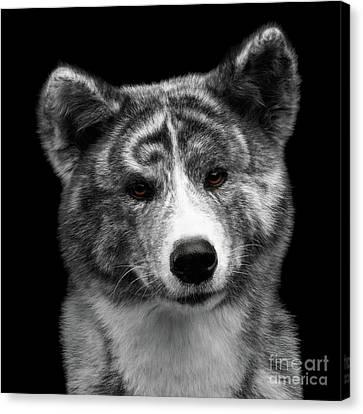 Closeup Portrait Of Akita Inu Dog On Isolated Black Background Canvas Print by Sergey Taran