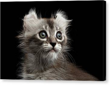 Cute American Curl Kitten With Twisted Ears Isolated Black Background Canvas Print by Sergey Taran