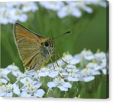 Dion Skipper Yarrow Blossoms Canvas Print by Michael Peychich
