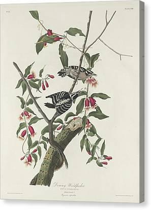 Downy Woodpecker Canvas Print by John James Audubon