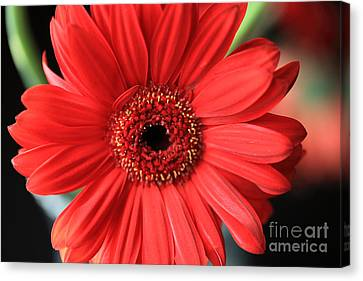 Gerbera Canvas Print by Amanda Barcon