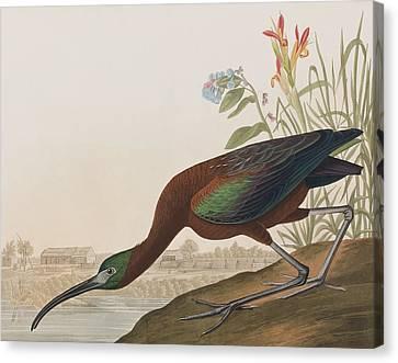 Glossy Ibis Canvas Print by John James Audubon