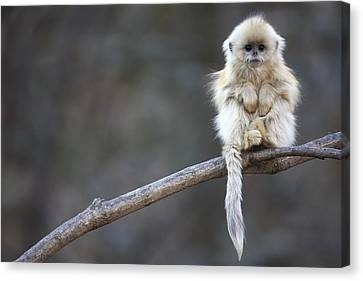 Golden Snub-nosed Monkey Rhinopithecus Canvas Print by Cyril Ruoso