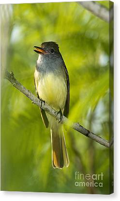 Great Crested Flycatcher Canvas Print by Anthony Mercieca