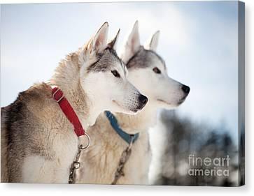 Huskies Canvas Print by Kati Molin