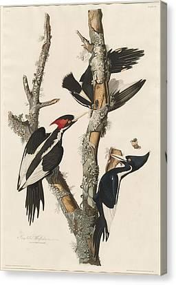 Ivory-billed Woodpecker Canvas Print by John James Audubon
