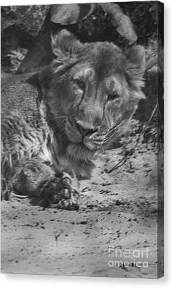 Lion Canvas Print by Doc Braham
