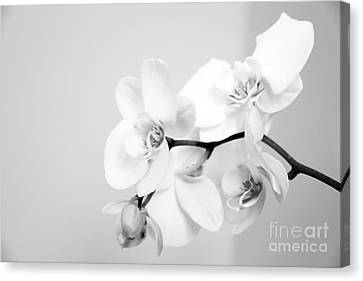 Orchid Canvas Print by Amanda Barcon