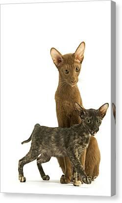 Oriental Cat And Kitten Canvas Print by Jean-Michel Labat