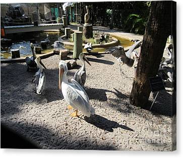 Pelicans Canvas Print by Frederick Holiday