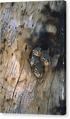 Red Squirrel Tamiasciurus Hudsonicus Canvas Print by Michael Quinton