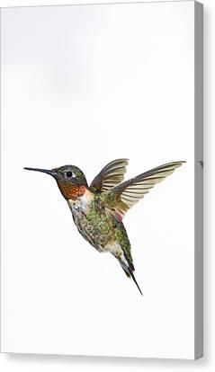Ruby-throated Hummingbird Archilochus Canvas Print by Thomas Kitchin & Victoria Hurst