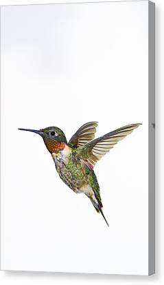 Ruby-throated Hummingbird Archilochus Canvas Print by Thomas Kitchin & Victoria Hurst