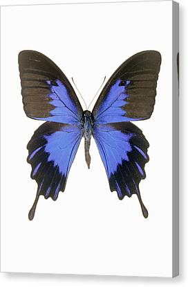 Swallowtail Butterfly Canvas Print by Lawrence Lawry