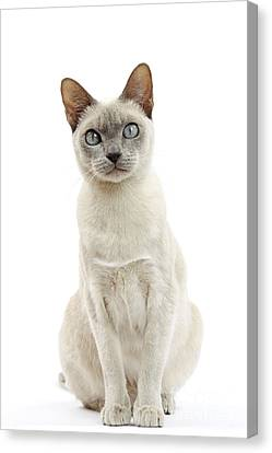 Tonkinese Cat Canvas Print by Jean-Michel Labat