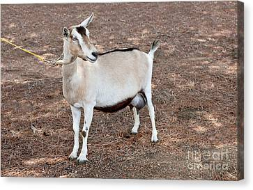 Transgenic Goat Canvas Print by Inga Spence