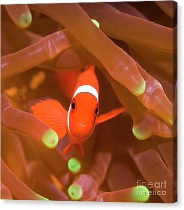 Tropical Fish Clownfish Canvas Print by MotHaiBaPhoto Prints
