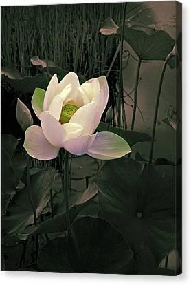 Twilight Lotus Canvas Print by Jessica Jenney