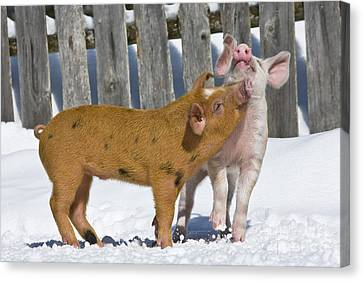 Two Piglets Playing Canvas Print by Jean-Louis Klein and Marie-Luce Hubert