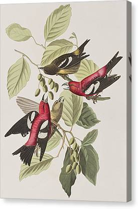 White-winged Crossbill Canvas Print by John James Audubon