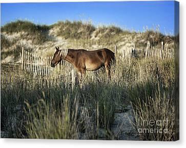 Wild Spanish Mustang Canvas Print by John Greim