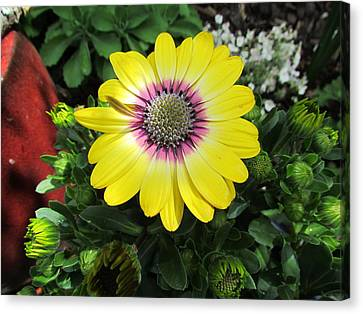 Yellow Daisy Canvas Print by Joyce Woodhouse