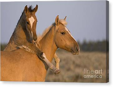 Young Mustangs Playing Canvas Print by Jean-Louis Klein & Marie-Luce Hubert