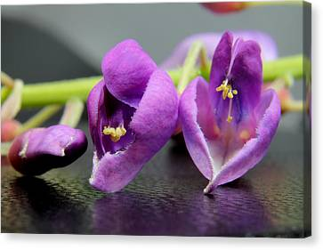 2010 Wisteria Blossom Up Close 1 Canvas Print by Robert Morin