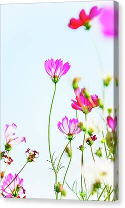 Galsang Flowers In Garden Canvas Print by Carl Ning