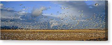 A Panoramic Of Thousands Of Migrating Canvas Print by Panoramic Images