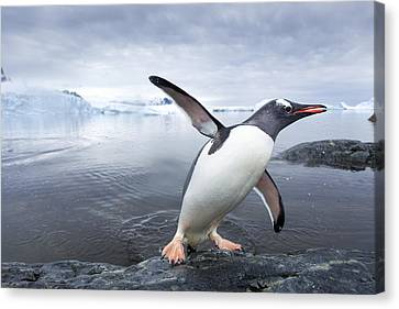 Antarctica, Cuverville Island, Gentoo Canvas Print by Paul Souders