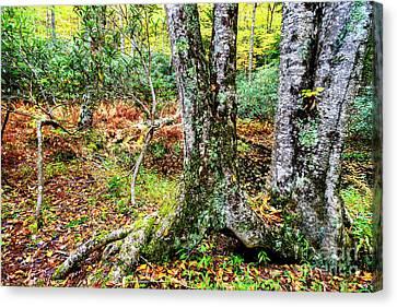 Autumn Upper Shavers Fork Preserve Canvas Print by Thomas R Fletcher