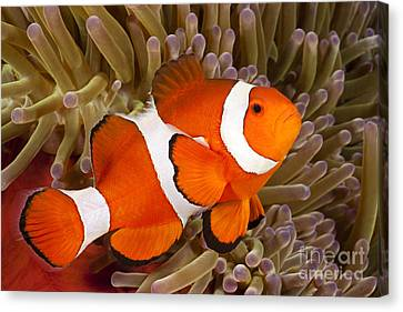 Clown Anemonefish Canvas Print by Dave Fleetham - Printscapes