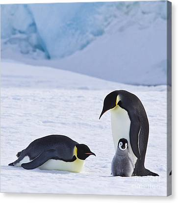 Emperor Penguins And Their Chick Canvas Print by Jean-Louis Klein & Marie-Luce Hubert