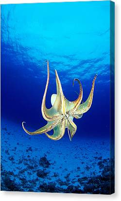 Hawaii, Day Octopus Canvas Print by Dave Fleetham - Printscapes