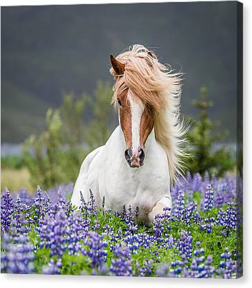 Horse Running By Lupines. Purebred Canvas Print by Panoramic Images