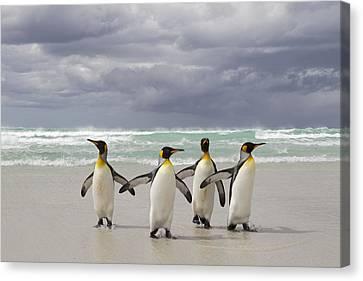 King Penguin Aptenodytes Patagonicus Canvas Print by Ingo Arndt