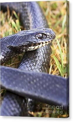 Large Whipsnake Coluber Jugularis Canvas Print by PhotoStock-Israel