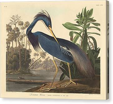 Louisiana Heron Canvas Print by John James Audubon