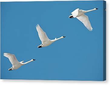 3 Montana Swans Canvas Print by Todd Klassy