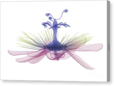 Passion Flower, X-ray Canvas Print by Ted Kinsman