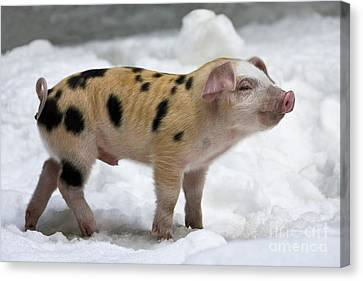 Piglet In The Snow Canvas Print by Jean-Louis Klein & Marie-Luce Hubert
