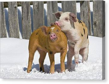 Piglets Playing In Snow Canvas Print by Jean-Louis Klein & Marie-Luce Hubert