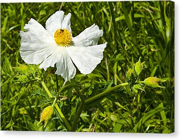 Prickly Poppy Canvas Print by Mark Weaver