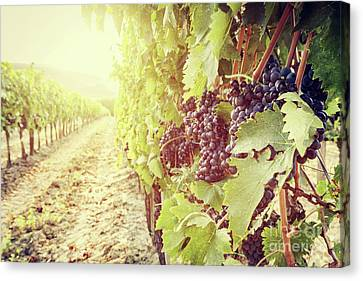 Ripe Wine Grapes On Vines In Tuscany Vineyard, Italy Canvas Print by Michal Bednarek
