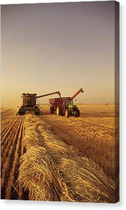 Spring Wheat Harvest, Tiger Hills Canvas Print by Dave Reede