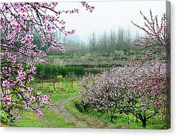 Blossoming Peach Flowers In Spring Canvas Print by Carl Ning