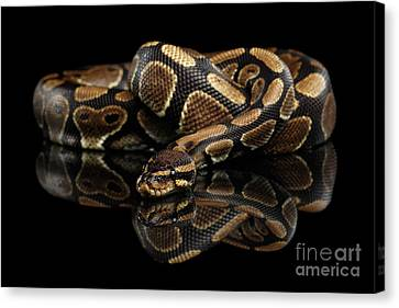 Ball Or Royal Python Snake On Isolated Black Background Canvas Print by Sergey Taran
